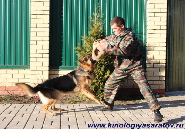 Дрессировка собак лучшими кинологами, ОКД, ЗКС, особые условия дрессировки