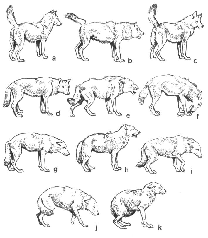 Терьер бернская пастушья собака