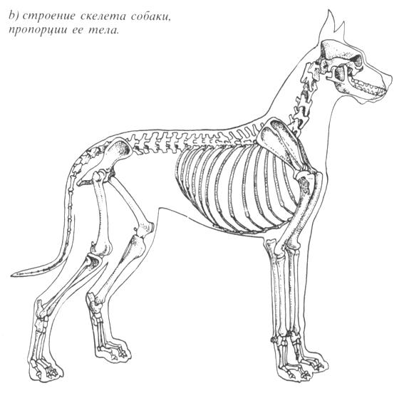 Б) строение скелета собаки,